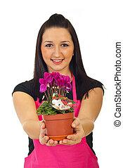 floricultor, mulher, oferecendo, cyclamen