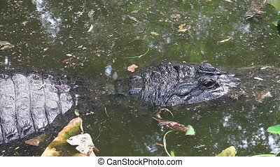 Florida Alligator - Alligator in a floridian swamp