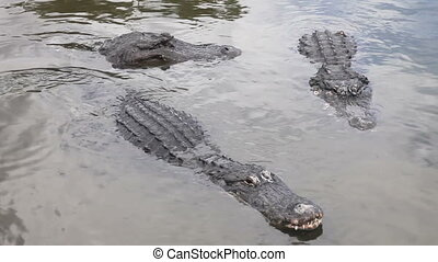 Florida Alligator feeding - Hungry Alligators in a floridian...