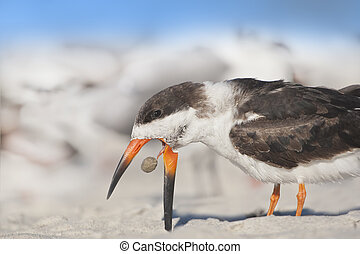 florida birds - Black Skimmer did not like his food. Latin...