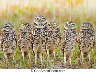 Burrowing Owls annual meeting. Local gang. Latin name - Athene cunicularia.