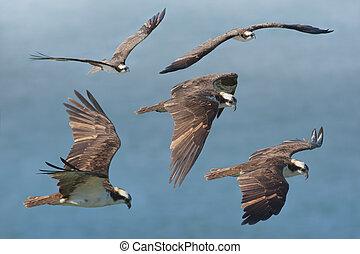 Flying with osprey. Latin name - Pandion haliaetus.