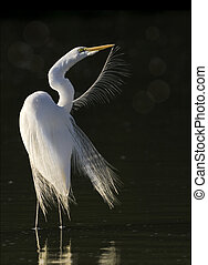florida birds - Great Egret grooming in the morning. Latin...