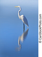 florida birds - Great Egret standing in the lake water,...