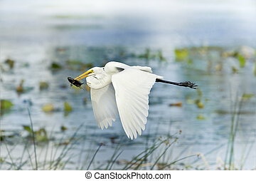florida birds - Great Egret with catch in beak flying above ...