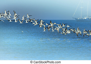 Line of Black Skimmers flock rising above sea bay. Latin name - Rynchops niger.