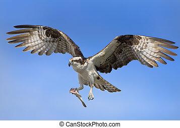 Osprey with prey in flight. Latin name - Pandion haliaetus.