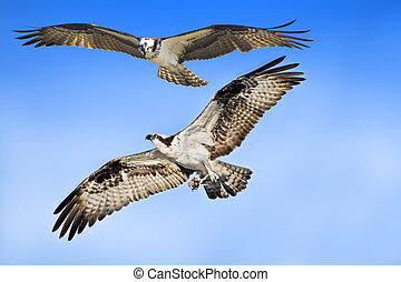florida birds - Ospreys couple in flight. Latin name -...