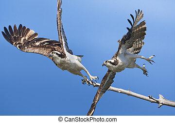 Ospreys in flight. Latin name - Pandion haliaetus.