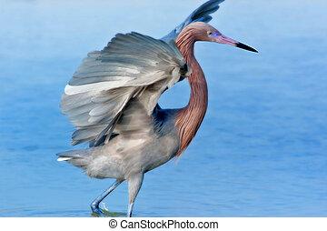 florida birds - Reddish Egret spreading his wings. Latin ...