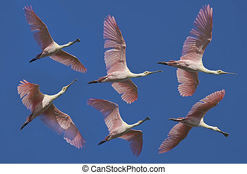 florida birds - Roseate spoonbill in flight, different ...