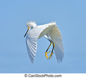 Snowy Egret dancing in the air. Latin name - Egreta tula.