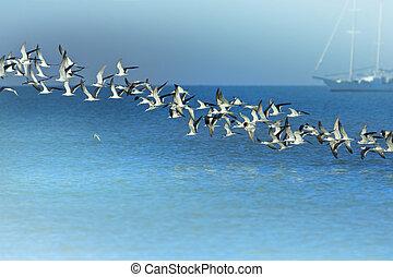 florida birds - Line of Black Skimmers flock rising above...