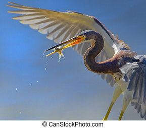 florida birds - Tri-colored heron with catch, close up....