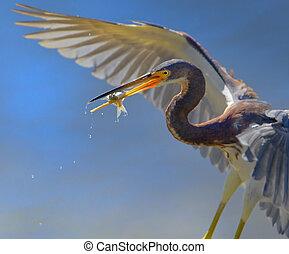 Tri-colored heron with catch, close up. Latin name - Egretta tricolor.