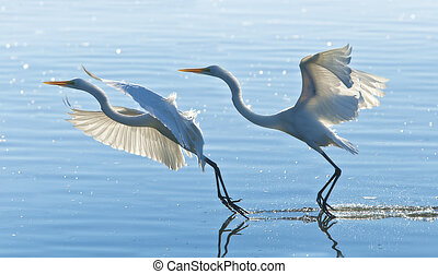 florida birds - Two Great Egrets gracefully landing. Latin ...
