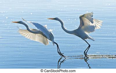 florida birds - Two Great Egrets gracefully landing. Latin...