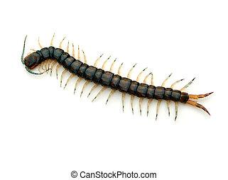Florida Blue Centipede (Hemiscolopendra marginata) on a white background