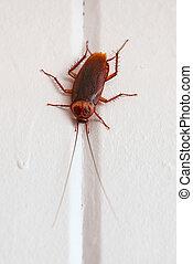 florida cockroach