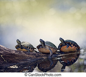 Florida Cooter Turtles On A Log - Three Florida Turtles...