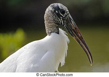 florida, -, gólya, erdő, closeup, pinellas, megye