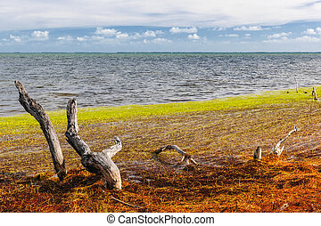 Florida Keys colors - Dead mangrove tree trunks, driftwood...