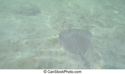 southern stingray underwater - Florida Keys southern...