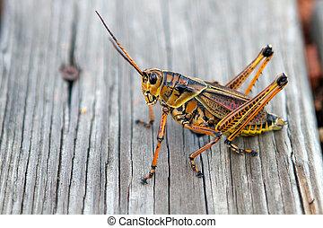 Florida Lubber Grasshopper - Florida Lubber grasshopper...
