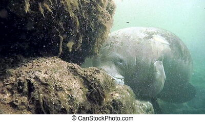 Florida Manatee - Close-up of a manatee Florida Fresh Water...