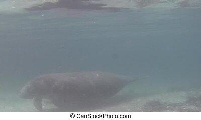 Florida Manatee - Seacow Manatee Swimming Underwater in...