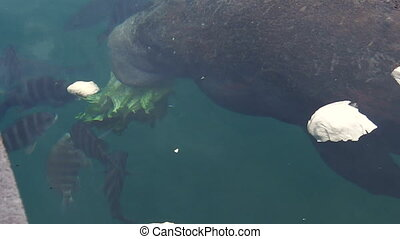 Florida Manatee of Crystal River - Manatee in waters of...