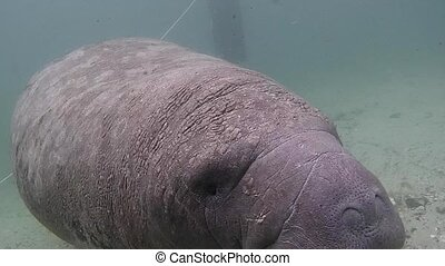 Seacow Manatee Swimming Underwater in Crystal River, Florida