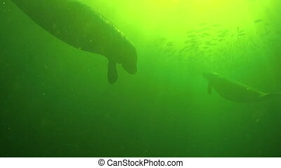 Florida Manatee - Manatee Mother and Calf from the bottom up...