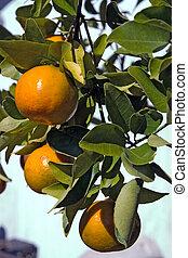florida, mandarini