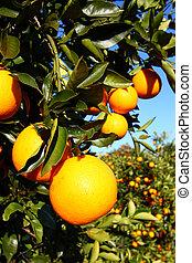florida, naranjas