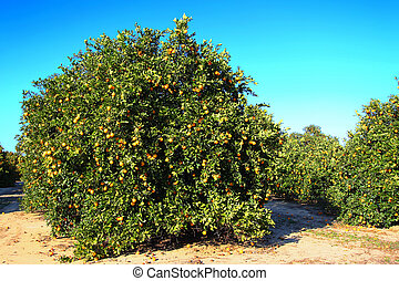 Florida Orange Grove Agriculture