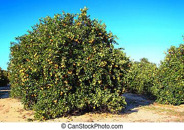 Florida Orange Grove Agriculture