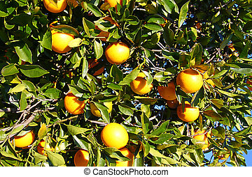 Florida Orange Grove Background