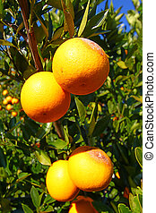 Florida Oranges Landscape