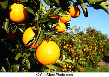 The beautiful orange groves of Florida on a sunny day.