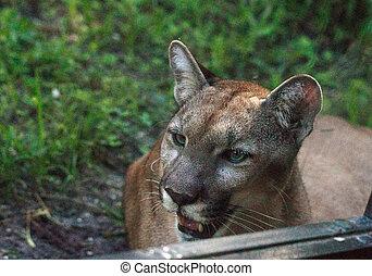 Florida panther Puma concolor coryi leans against a window ...