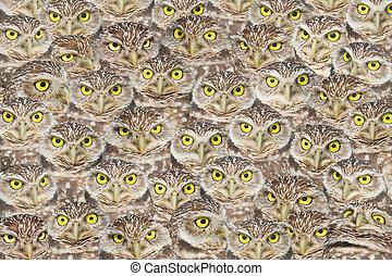 florida raptors - Burrowing Owls group portrait. Latin name...