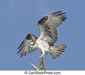 Florida raptors - Powerful Osprey