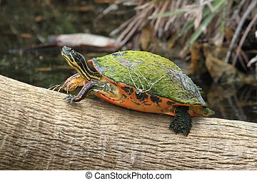 Florida Red-bellied Cooter (Pseudemys Chrysemys nelsoni) in...