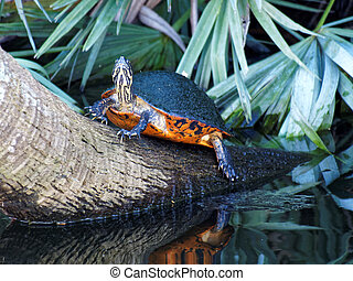 Florida Redbelly Cooter Turtle on a Tree Stump in Wetlands