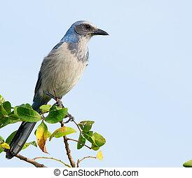 Florida Scrub-Jay (Aphelocoma coerulescens) in wild.