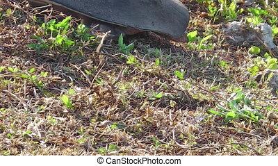 Florida softshell turtle close up