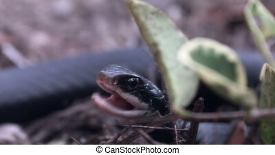 Florida Southern Black Racer - Southern Black Racer With...