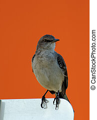 Florida State Bird Northern Mockingbird