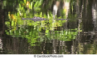 Florida Swamp Alligator - American alligator swims in a...